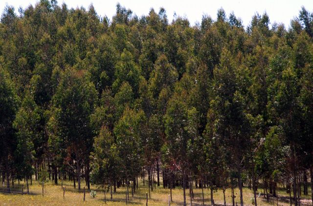 A monoculture eucalyptus plantation. Millions of acres of native forest in Chile have been replaced by eucalyptus and pine plantations, which contribute to environmental demise and water shortage