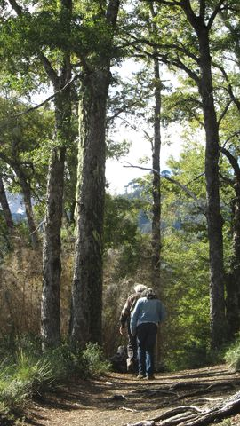Conguillio National Park is one of the few areas in Chile where the natural environment has been preserved. Most of the ancient vast forest have been timbered and replaced by commercial eucalyptus and pine plantations
