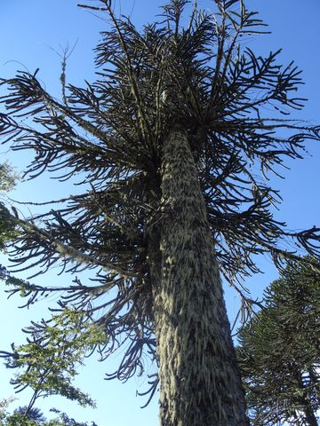 The *araucaria* – the national tree of Chile – is a sacred tree to the Mapuches, as well as a traditional source of food and medicine. It used to dominate the ancient forests of the Andes, and still does in a few protected areas that remain